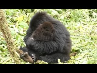 🔥 В 7 лет Убукомбе слишком молода, чтобы иметь собственных детей, но ей нравится присматривать за детьми. Мамы-гориллы в ее груп