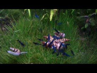 Улитки Хелены и креветки едят сухой корм.