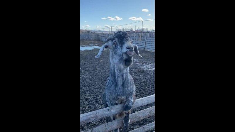 козлы вас порадуют на ферме больше козы вас порадуют больше всего 😂😂😂