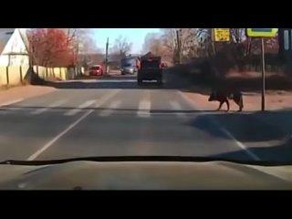 Эта собака лучше знает ПДД чем большинство людей..