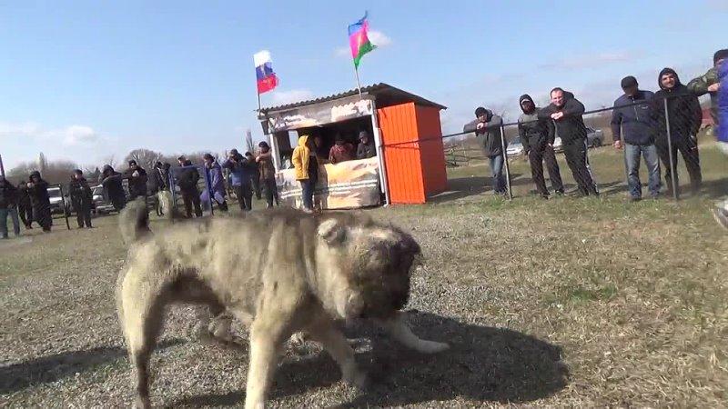 Везунчик Дик лёгкий вес Полуфинал чемпионата Краснодарского края