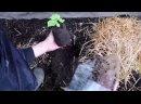Выращивание огурцов _ Высаживаем рассаду огурцов в теплицу