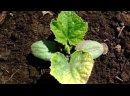 Выращивание огурцов. Почему сохнут листья Фузариозное увядание огурцов