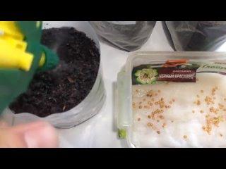 Высаживаем баклажаны на рассаду _ Самый лучший способ