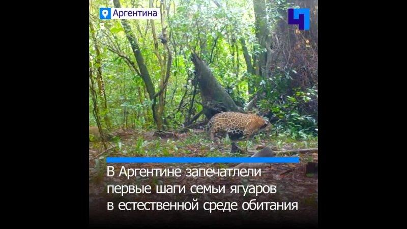 В Аргентине запечатлели первые шаги семьи ягуаров в естественной среде обитания