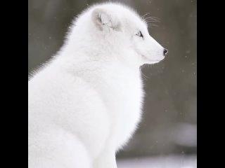 Просто полярная лисица наслаждается снегопадом