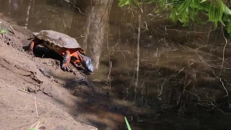 Glyptemys insculpta ((North American) Wood Turtle)