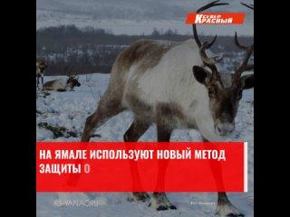 Впервые на Ямале будут вакцинировать диких животных