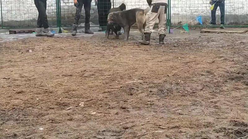 Кудаяр Каракуш. (Кудаяр победа)