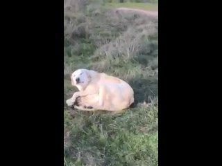 Рабочая собака и ягненок
