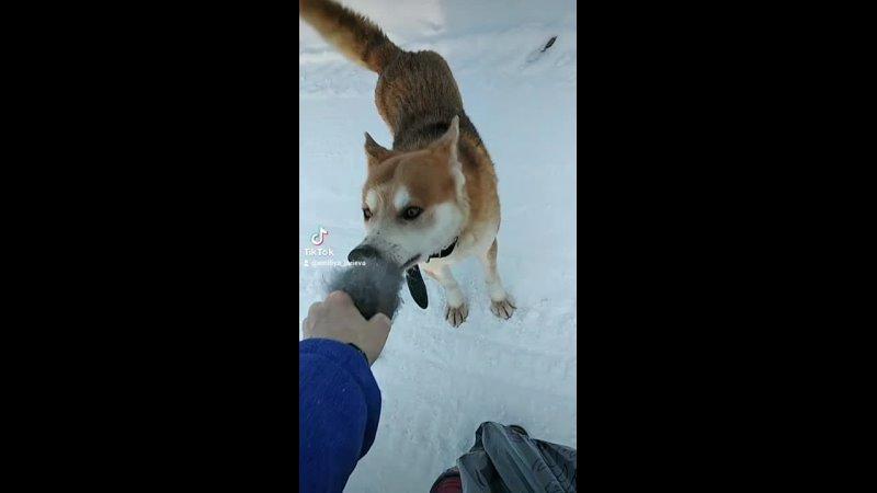 Пёсик играет с варежкой