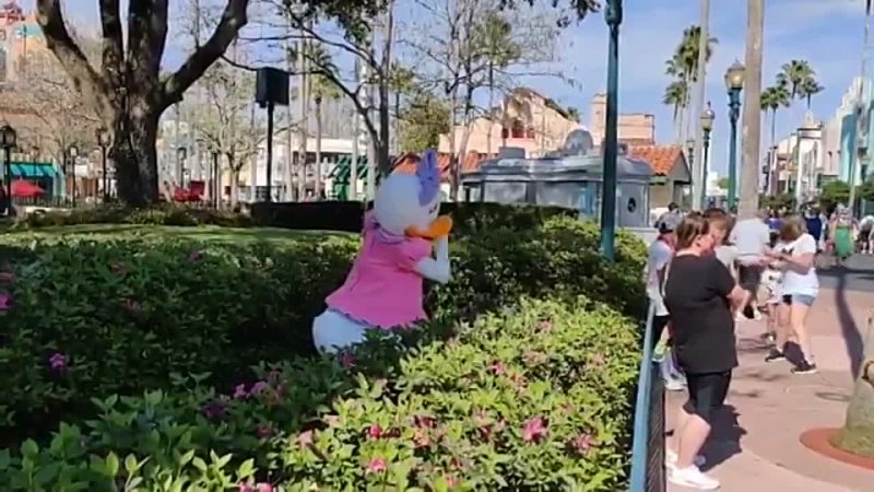 Daisy Duck is out and about today at Disneys Hollywood Studios posing for pictures and watering the flowers in the courtyard