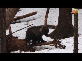 Как дела у Пужи: маленькая медведица из Коми скоро выйдет из берлоги