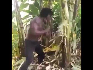 хищник рубит пальмы