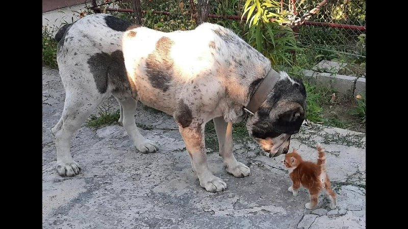 Котёнок и алабай