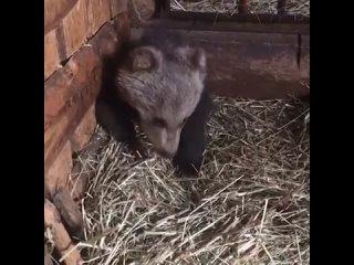 Маленький медведь пришел во двор к людям в селе Кананикольское Зилаирского района..mp4