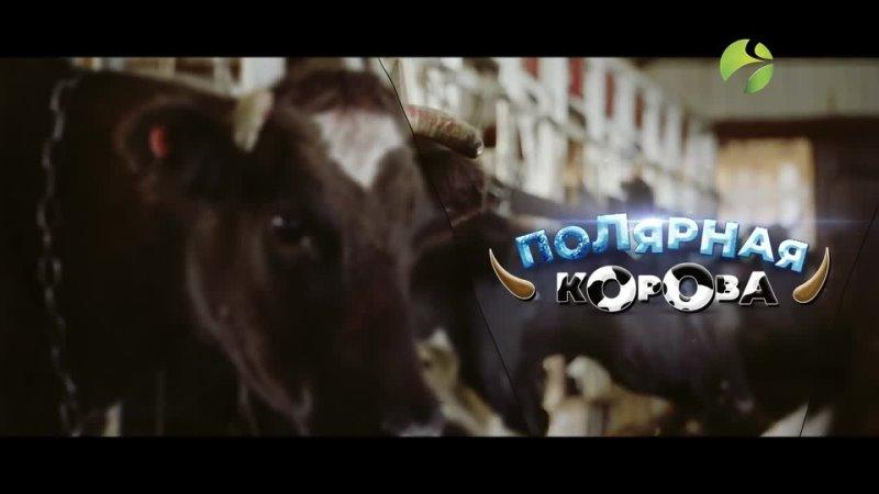 Полярная корова Как разводят коров на Крайнем Севере Полярные истории