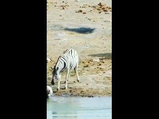 Самцы зебр часто очень агрессивны по отношению к молодым жеребятам, особенно если они не их собственные.
