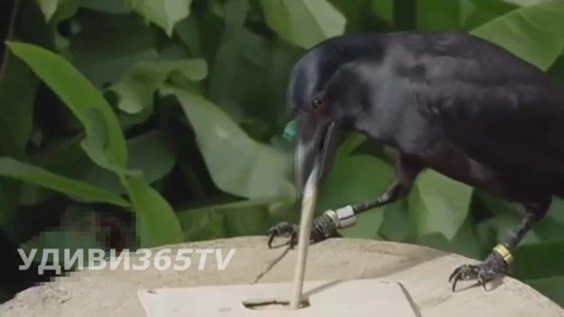 Ворон умеет делать орудия труда