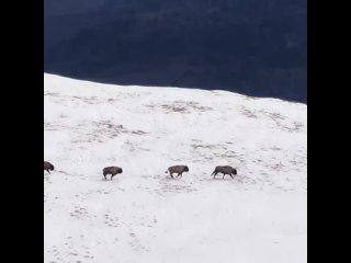 В горах Кубани фотограф снял зубров на высоте более 2 тыс. м
