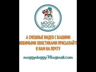 Автор видео неизвестен⠀P.S. А смешные видео с вашими любимыми хвостиками🐩🐈🦜🐀🦝🐇🦔 можете прислать нам на почту: moggydoggy78@