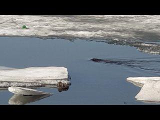 Бобр плавает в пруду Ижевска