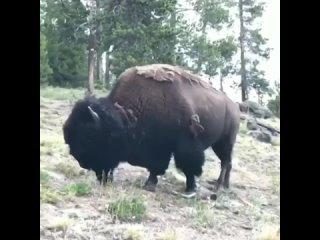 Опасная прогулка. Бизон нападает на маленькую девочку в Йеллоустонском национальном парке.