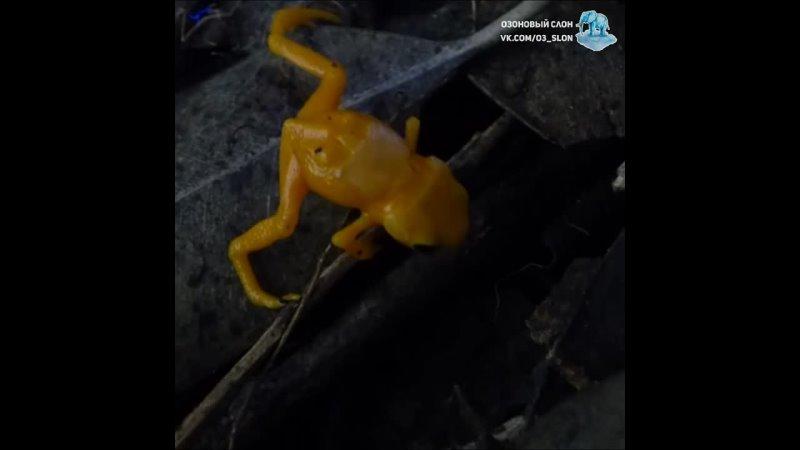 Лягушки тыквенные кусочки