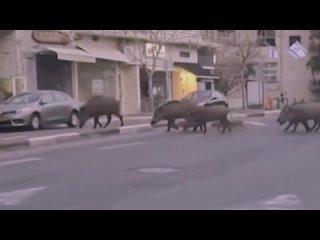 Израильский город Хайфа захватили дикие кабаны