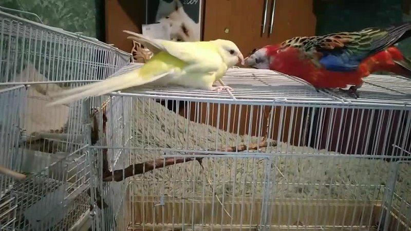Лютик и Рикки