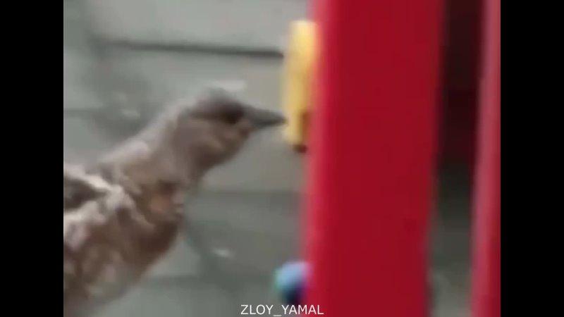 Жители Лабытнанги сняли на видео копалуху самку глухаря Злой Ямал