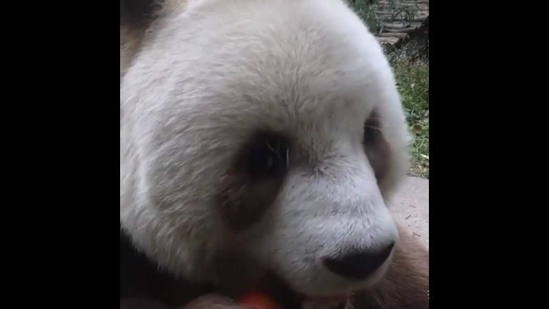 Панда поедает морковь Лучшие друзья человека Яндекс Дзен 1