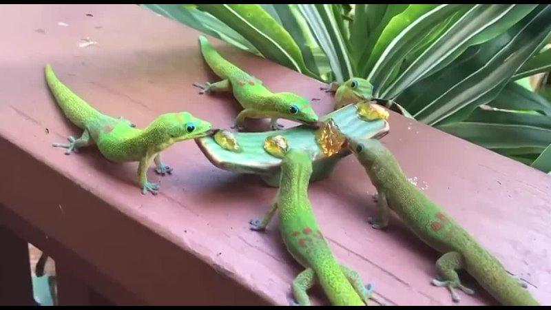 Кроме насекомых, гекконы обожают сладкое и часто его переедают.