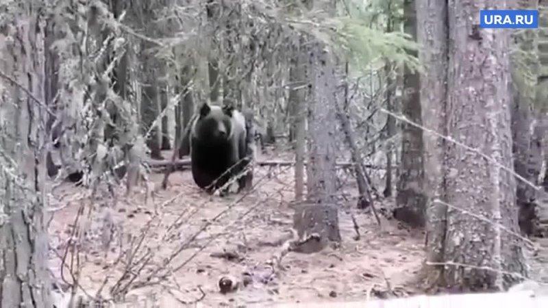 Проснувшиеся бурые медведи в ЯНАО стали выходить к людям