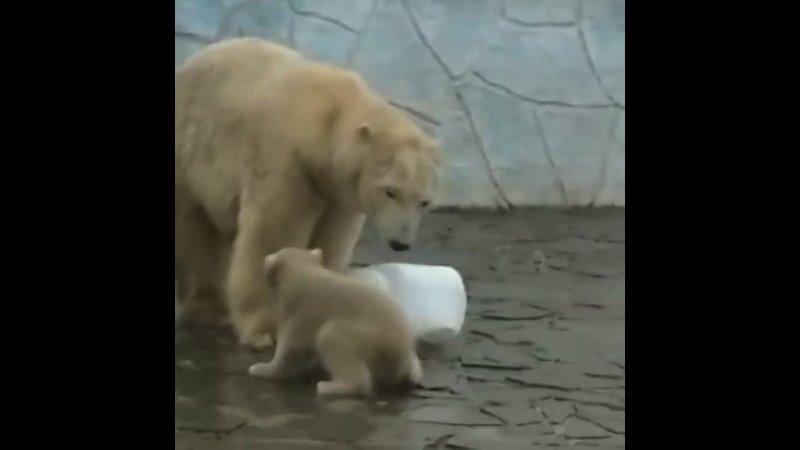 Белый медвежонок из зоопарка любит хулиганить 10 04 21 Это Ростов на Дону