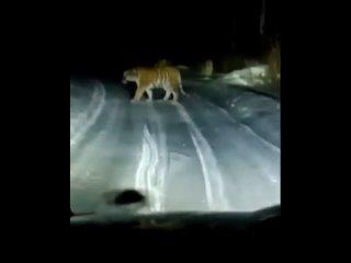 Мать - тигрица и два взрослых тигренка попали на видео.