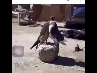 Голубь пристаёт к ястребу