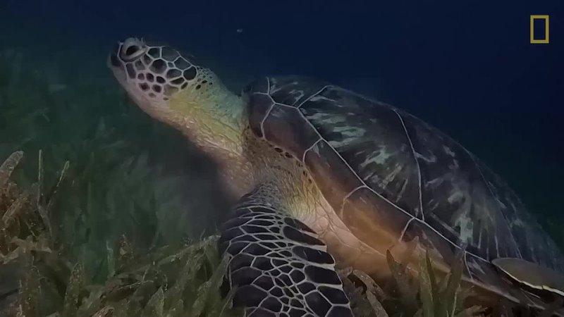 Эта зеленая морская черепаха предоставляет бесплатный транспорт для нескольких автостопщиков