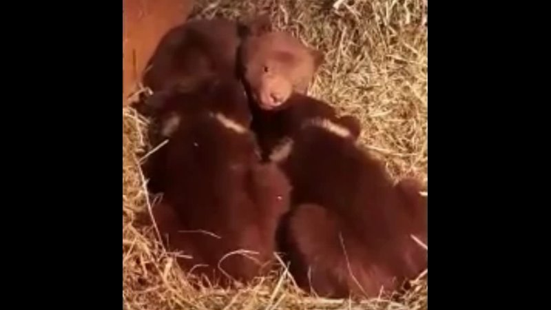 Медвежата из Карелии
