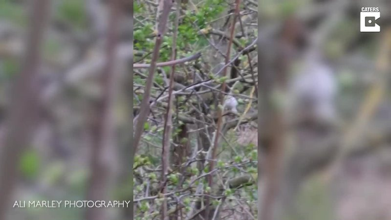 [Caters Clips] Incredibly Rare White Robin Spotted In UK