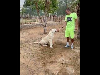 Артём Дзюба покормил львицу.