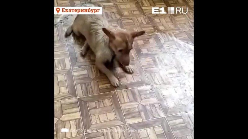 В Екатеринбурге ищут дом собаке на коляске