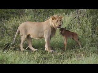 БЛАГОРОДНЫЕ ЖИВОТНЫЕ звери спасают людей и друг друга