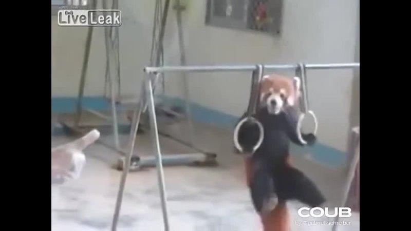 Red Panda Training For Olympics