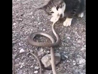 Ничего необычного, просто котейка кушает змею.