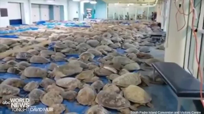World News Tonight - KEEPING WARM New video shows thousands of sea turtles inside the South Padre Island Convention Centre afte