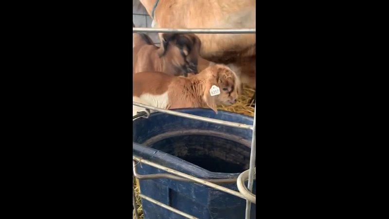 Козленок обнаруживает, что кричитблеет. это не вызвало большой любви в raww. сестра гф работает на козьей ферме, и эти дети по