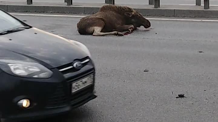 На Пулковском шоссе при выезде из города машина сбила лося