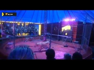 Львы атаковали дрессировщика в Мошково.mp4