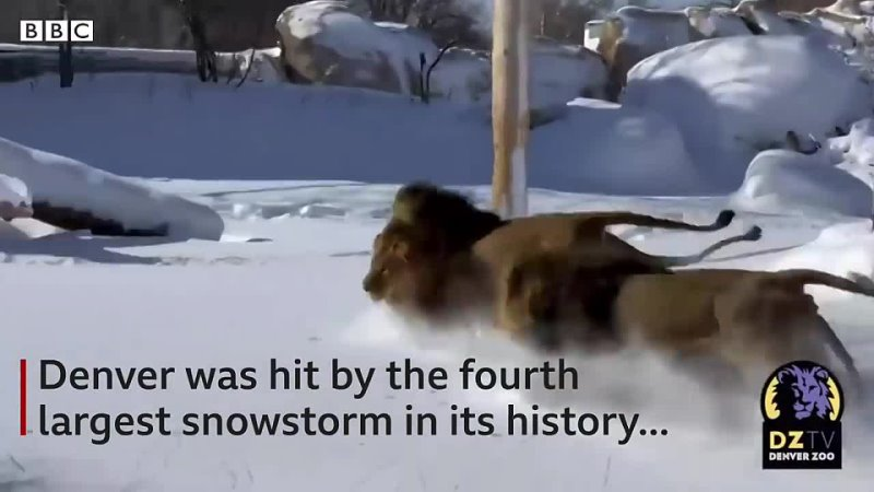 Lions at Denver Zoo frolic in the snow after historic blizzard BBC